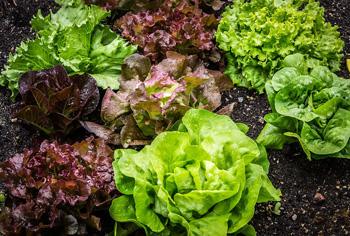 Kopfsalat Attractie ca.250 Pflanzen Saat Saatgut Samen Salat Gemüse Aussaat