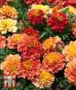 "Tagetes patula ""Strawberry Blonde"" - Studentenblume"